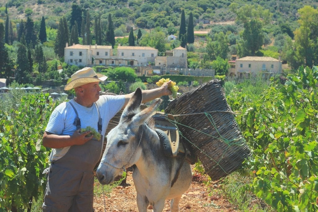 grape harvesting with donkey at Kinsterna Hotel in Monemvasia, Greece